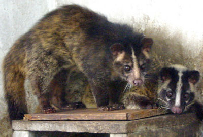 Civet cats lived under the Taylor house.